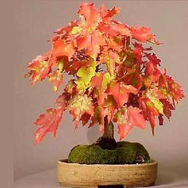 Seeds 10 red maple swamp or soft maple acer rubrum - Arce rubrum bonsai ...
