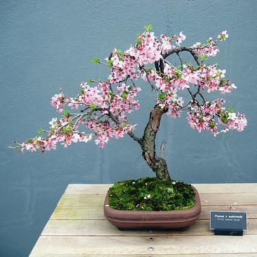 Seeds 4 weeping higans cherry tree prunus subhirtella for Cherry trees for sale